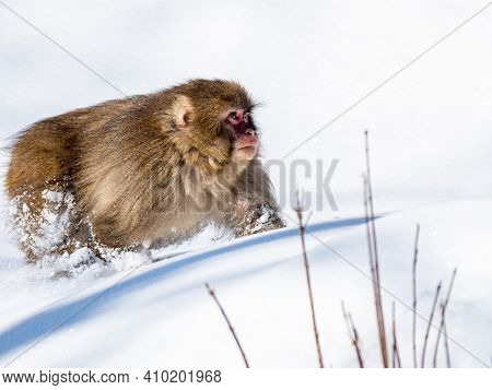 A Japanese Macaque, Macaca Fuscata, In The Deep Snow In Shiga Kogen, A Ski Resort And Nature Preserv
