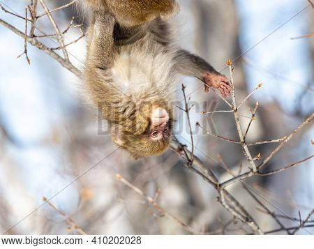 A Japanese Macaque, Macaca Fuscata, Sitting In A Tree In Shiga Kogen, A Ski Resort And Nature Preser