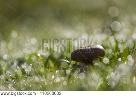 Mushroom. Green Grass With Dew Drops. Fresh Morning Dew On Spring Grass, Natural Background, Close-u