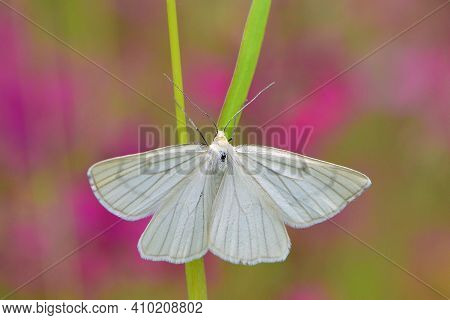 Butterfly On Green Grass. White Butterfly Moth Close Up. Macro Photography Of Nature, Beautiful Back