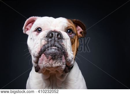 bulldog on an isolated black background in a studio