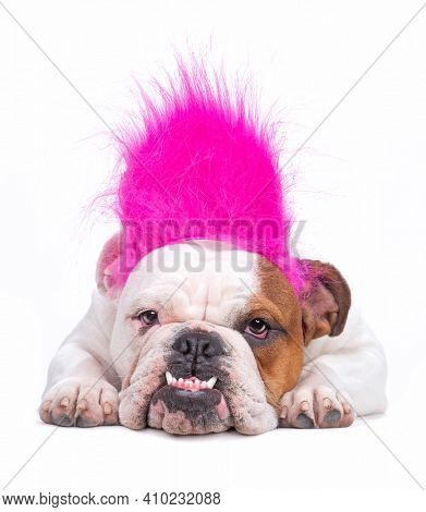 bulldog on an isolated background with a troll wig on