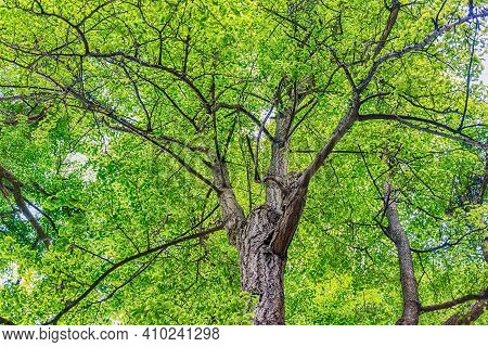 Beautiful Forest With Trees And Green Foliage. May Be Used As A Background Concept For Nature And En