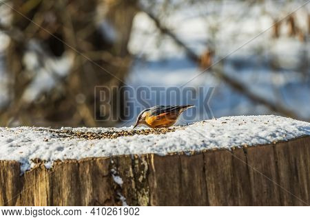 Nuthatch Woodpecker Tit Looks Up In Front Of Cereal Grains In The Snow. Tree Trunk In Winter From A