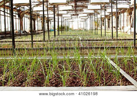 genetic experiment - growing experimental plant in the greenhouse
