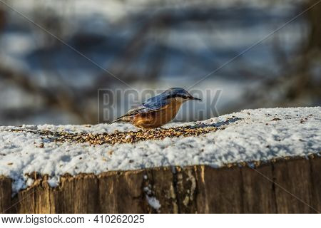 Side View Of Woodpecker Tit Nuthatch In Winter In Sunshine. Bird Stands On Snow-covered Tree Trunk W