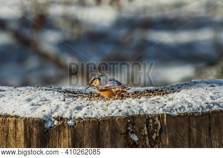 Bird In Winter On Snow. Nuthatch From The Side With Gray-blue And Yellow-orange Feathers Digs In Bir