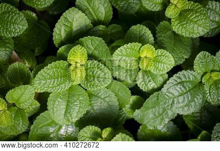 Natural Background Of Fresh Spearmint Leaves In The Garden. Organic Fresh Herb.