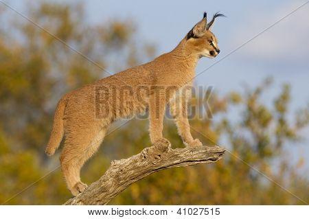 Young Caracal (felis Caracal) South Africa