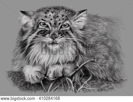 Sketch Of Manul Isolated On Grey Background. Carnivorous Wild Cat. Pencil Hand Drawing, Monochrome I