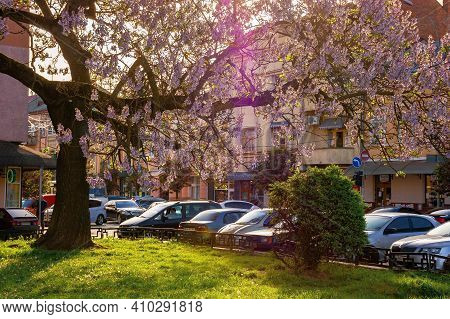 Uzhhorod, Ukraine - 01 May 2018: Paulownia Tree In The Town Center. Big Blossoming Tree On The Squar