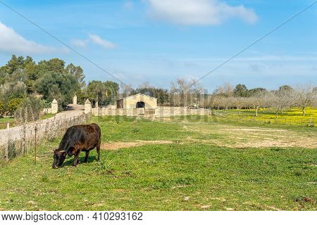 Black Cow (bos Taurus) Grazing On A Sunny Day In The Interior Of The Island Of Mallorca, Spain