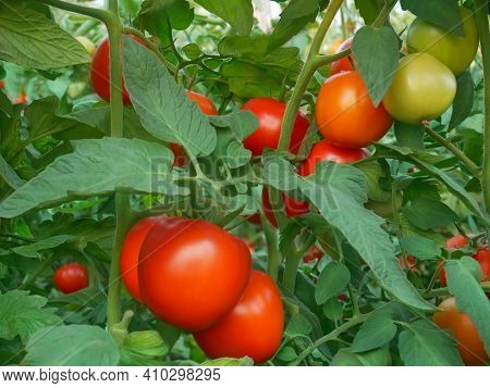 Bunches With Ripe Red And Unripe Green Tomatoes That Growing In Greenhouse, Close-up