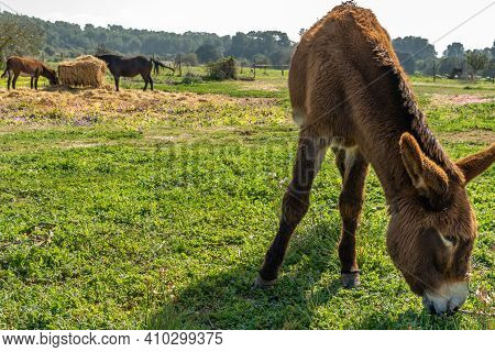 Horses And Donkeys Grazing Outdoors In The Interior Of The Island Of Mallorca, Spain