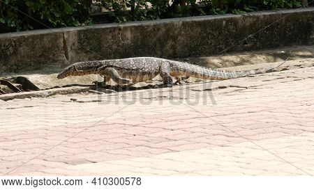 Asian Common Water Monitor Large Varanid Lizard Native To Asia. Varanus Salvator On The Green Grass