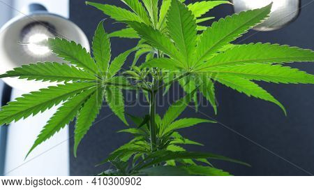 A Lush Young Marijuana Bush Spreading Luscious Textured Leaves Under The White Light Of Energy-savin