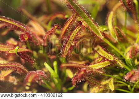 Close-up Of Drosera Capensis Plant, Commonly Known As The Cape Sundew. Macro Photography Of Lively N