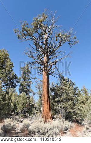 Jeffrey Pine (Pinus jeffreyi) in the San Bernardino National Forest. The dark bark of the tree smells like vanilla or butterscotch.