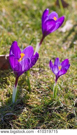 Closeup Of Some Purple Crocuses In Early Spring