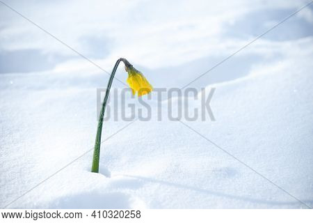 Single Yellow Blooming Narcissus Daffodil Flower Surprised By The Snow