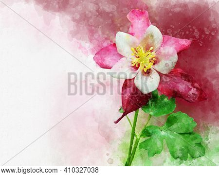Pink And White Aquilegia Flower. Watercolor Painting, Botanical Illustration