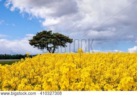 Blooming Rapeseed Field. A Beautiful Landscape With A Colorful Yellow Rapeseed Field And A Tree Agai