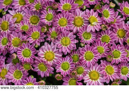 View Of Small Pink-white Aster Flowers In The Summer Garden. Macro Photography Of Lively Nature.