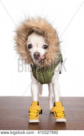 cute chihuahua wearing boots and a coat on an isolated white studio background