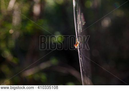 The Cross Spider, Also Called European Garden Spider, Diadem Spider Or Pumpkin Spider In Cobweb