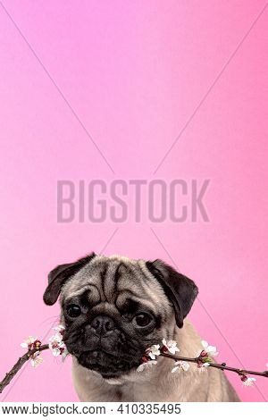 Pug Dog In Sakura Flowers Posing And Looking At The Camera On A Pink Background With Copy Space. Bri