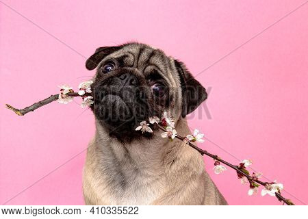 Pug Dog In Sakura Flowers Posing And Looking At The Camera On A Pink Background. Bring Spring And Ha