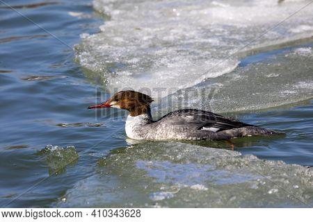 Eastern North American Bird Common Merganser, Sea Duck - Mergus Merganser, Called Goosander In Euras