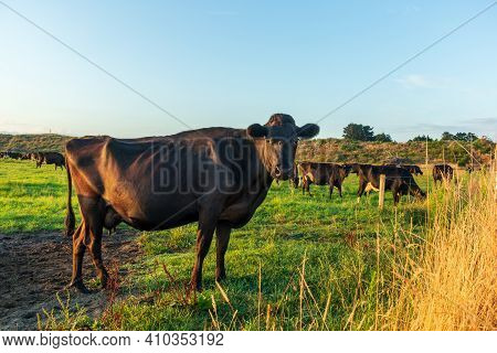 One Brown Cow Having Breakfast On A Newaland Morning.