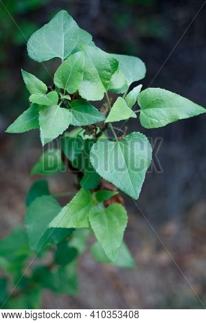 Green Simple Alternate Distally Acute Proximally Cordate Dentately Margined Leaves Of Canyon Sunflow
