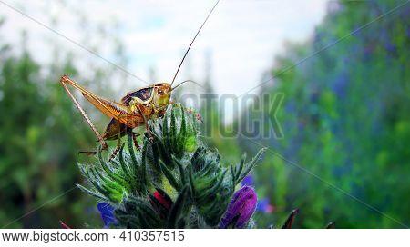 Grasshopper Sitting In Flowers. Locust Close-up     Top View