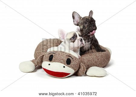 Frenchie Puppies In A Dog Bed