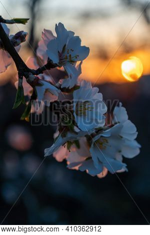 Almond Flower Close-up. Almonds Bloom In Early Spring. Blooming Trees In The Sunset Light. Soft Focu