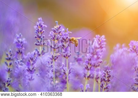 Close Up Lavender Flower On Sunset. Selective Focus On Bushes Of Lavender Purple Aromatic Flowers At