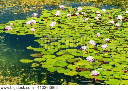 Water Lilies Nymphaea Sp. Cover The Surface Of A Fresh Water Pond. Water Lilies Are Rooted In Soil W