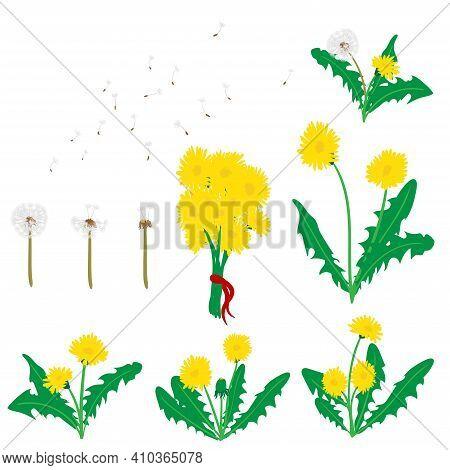 Collection Of Vector Dandelion Flowers, Dandelion Flying Seeds, Bunch Of Dandelions.