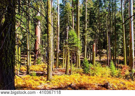 Travel to America. Sequoia Park in California, USA. Sequoia is a tree of the Cypress family. The natural range of the genus is the Pacific coast of North America.