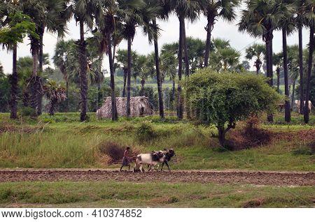 Irrawaddi River, Myanmar - 12 November 2016 Shot At Distance Of Shepherd Walking On Road In Tropical