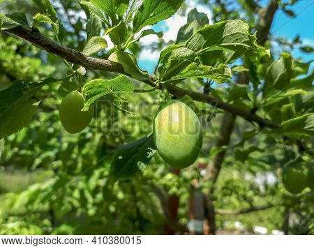 Closeup Shot Of Unripe, Green Plum On The Branches Of The Plum Tree With Sky Background