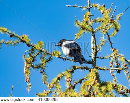 Bird The Eurasian Magpie Sitting On The Branch Of A Larch With Blue Sky Background