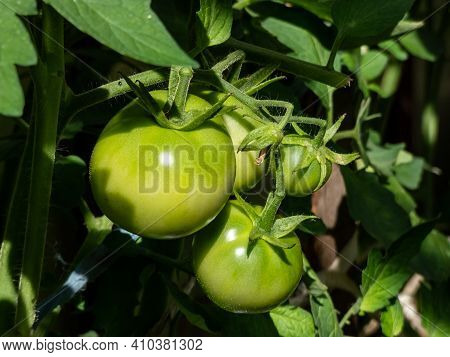 Closeup Shot Of Organic Grown Bunch Of Unripe Green Tomatoes Growing On Tomato Plant In Greenhouse I