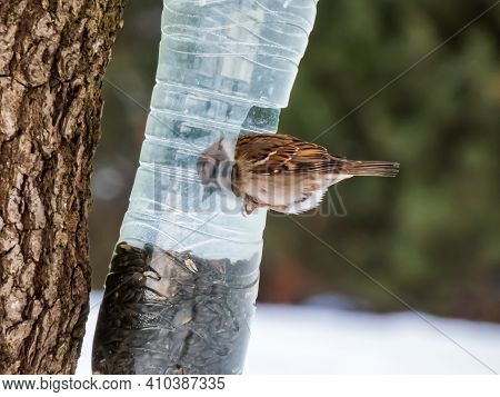 House Sparrow Visiting Bird Feeder Made From Reused Plastic Bottle Full With Grains