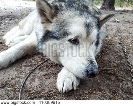 Bored Alaskan Malamute On The Metal Chain Lying On Ground And Resting Before Sleigh Ride. Beautiful