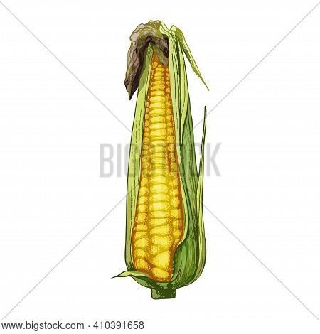 Ripe Cob Of Corn Partly Closed Leaves. Vector Color Vintage Hatching Illustration Isolated On A Whit