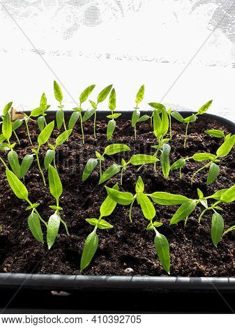 Home-grown Small Pepper Plant Seedlings In Pots On A Windowsill. Indoor Gardening