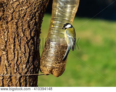 Great Tit (parus Major) Visiting Bird Feeder Made From Reused Plastic Bottle Full With Grains On A S